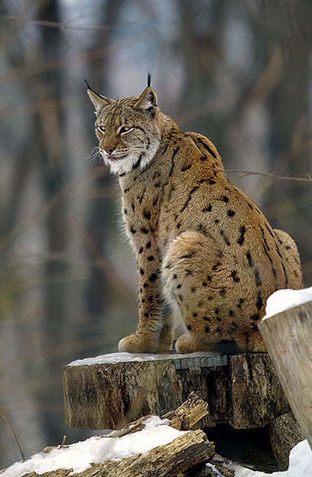 lynx-cat-nepal